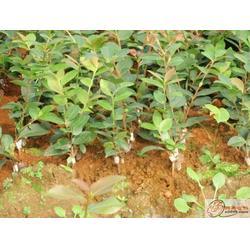 哪有茶油卖|油茶苗圃基地|江西哪有茶油卖图片