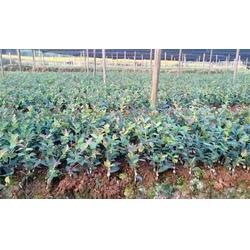 泸州油茶树苗、油茶苗圃基地油茶树苗、大果油茶树苗图片