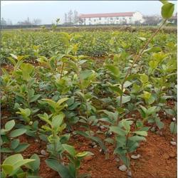 茶油树苗-油茶苗圃基地-藤县茶油树苗图片