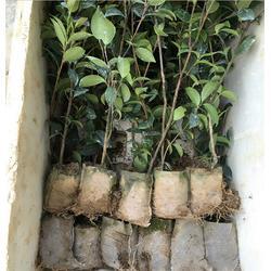 油茶容器苗、油茶苗圃基地油茶苗、油茶容器苗图片