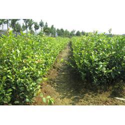高产油茶苗_油茶苗_油茶苗圃基地油茶树(查看)
