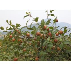 成都油茶树苗、白土镇高产油茶苗圃、良种油茶树苗图片