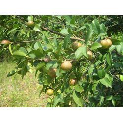 茶油树-哪里的茶油树比较好-茶油树图片