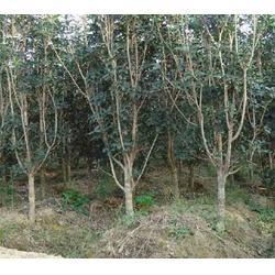 泰州三角枫销售公司_合肥企达园林(在线咨询)_泰州三角枫图片