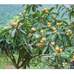 合肥企达园林(图)_安徽枇杷_安徽枇杷图片