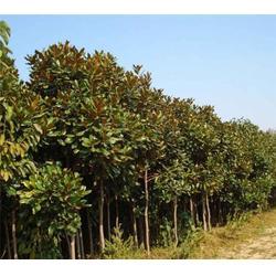 广玉兰、合肥企达园林、广玉兰图片