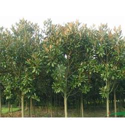 安徽肥西广玉兰树苗、合肥企达园林、安徽肥西广玉兰图片