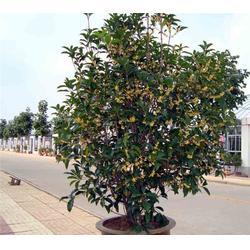 合肥企达园林(图)|桂花树苗销售公司|桂花树苗图片