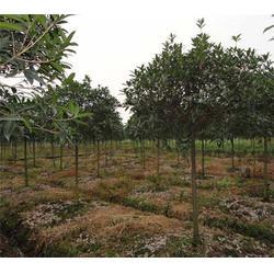 安徽桂花小苗销售基地|合肥企达园林|安徽桂花小苗图片