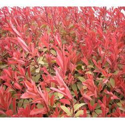 合肥企达园林、安徽肥西红叶石楠多少钱、安徽肥西红叶石楠图片