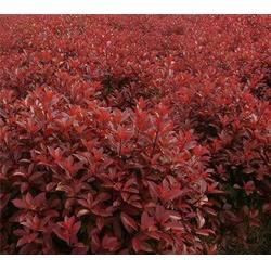 合肥企达园林,肥西红叶石楠绿化公司,肥西红叶石楠图片