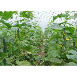蔬菜产销基地,大型蔬菜产销基地,蔬菜产销基地(优质商家)图片
