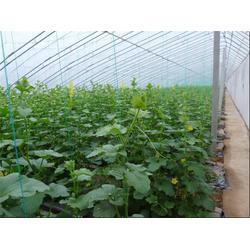 田润蔬菜(图)|黄瓜供销基地哪家好|黄瓜供销基地图片