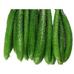 山东黄瓜供应,蔬菜(在线咨询),黄瓜图片