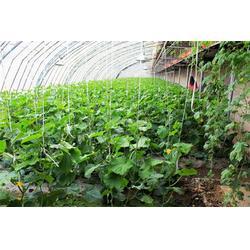 田润蔬菜(图)、黄瓜销售商、宁夏黄瓜图片