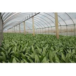 莴苣供应,田润蔬菜,莴苣供应图片