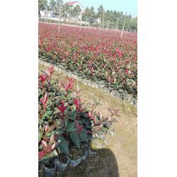 金华好彩苗木品种齐全-中桶红叶石楠种植基地-中桶红叶石楠