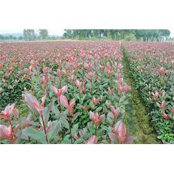 好彩苗木质量上乘 红叶石楠-江苏夏溪红叶石楠图片