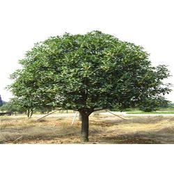 好彩苗木有口皆碑,八月桂花树哪家好,金华市八月桂花树图片