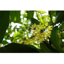 金桂花树、好彩苗木专业种植、金华市金桂花树图片
