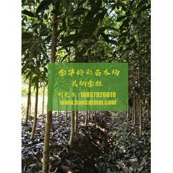 金华好彩苗木成活率高 长柄金桂报价-长柄金桂图片