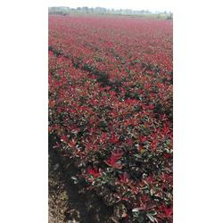 红叶石楠小杯苗 红叶石楠 好彩红叶石楠品种齐全