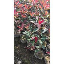 红叶石楠-金华好彩苗木品种齐全-红叶石楠小杯苗图片