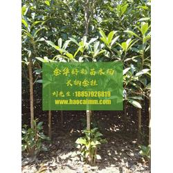 供应长柄金桂-长柄金桂-金华好彩苗木成活率高