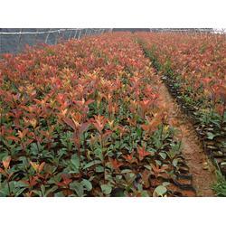 好彩苗木品种多,优质红叶石楠品种,江苏沭阳优质红叶石楠图片