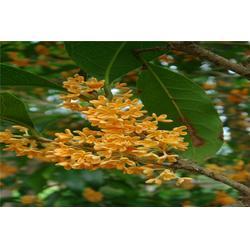 好彩苗木品种多(图)|桂花苗哪个品种好|金华市桂花苗图片