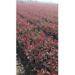 红叶石楠小杯-红叶石楠-金华好彩苗木品种齐全(查看)图片