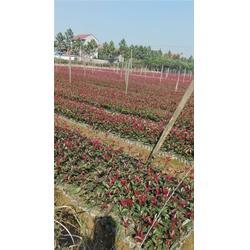 红叶石楠小苗价-红叶石楠-金华好彩苗木成活率高(查看)图片