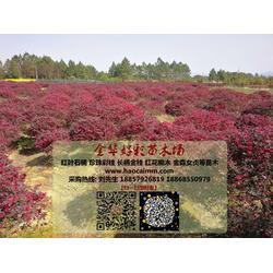 上海红花继木小杯-好彩红花檵木高品质-红花继木小杯报价图片
