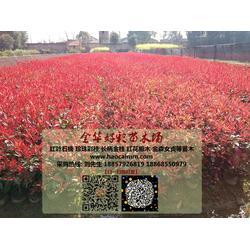 红叶石楠、金华好彩苗木品种齐全、出售红叶石楠图片