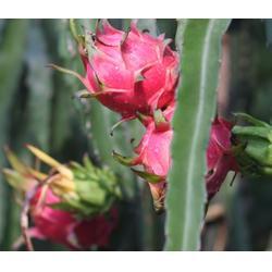 火龙果种植技术、麻涌景观农场(在线咨询)、北京火龙果种植图片