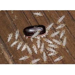 中大型企业灭蟑螂,奥洁利美消杀公司,平谷区灭蟑螂图片