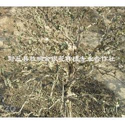 四季金银花树,封丘胜瑞(在线咨询),太原金银花树图片