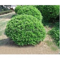 山东大叶黄杨球、泰安绿化苗木、哪里大叶黄杨球便宜图片