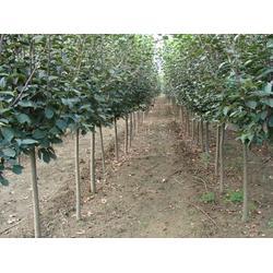3-5公分西府海棠、西府海棠、泰山绿化苗木图片