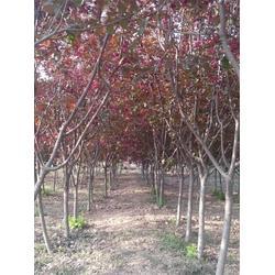 红叶海棠苗,泰山绿化苗木,红叶海棠图片