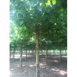 法桐、泰山绿化苗木、山东法桐图片