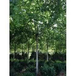 绿化法桐、泰山绿化苗木(已认证)、法桐图片
