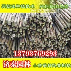 6公分速生法桐法桐扦插条低出售中图片