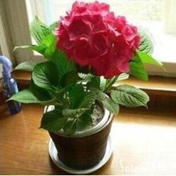出售绣球花苗_青州绣球花_青州北方花卉图片