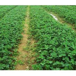 大山生态园草莓苗全国保质(图)、河北凤香草莓苗、凤香草莓苗图片