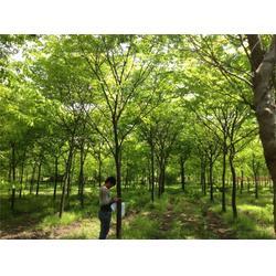 大地春花草苗木(图),榉树单价,内蒙古榉树图片