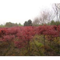 大地春花草苗木、红枫树、南通红枫图片