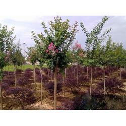 大地春花草苗木-紫薇树价钱-高邮紫薇树图片