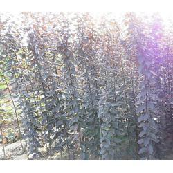 瀚花苑优质供应(图)、红叶李栽培技术、红叶李图片