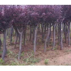 瀚花苑种植_红叶李树苗优质供应_红叶李树苗图片